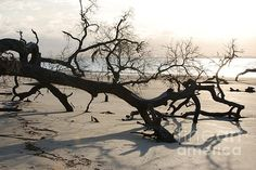 Jekyll Driftwood Beach - Sunset - Photograph by Katherine W Morse