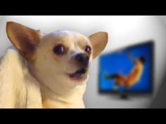 This Chihuahua is the Worst to Watch Movies With | Canine Distractions