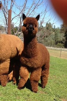 Fluffy Cows, Fluffy Animals, Cute Alpaca, Baby Alpaca, Llama Pictures, Animal Pictures, Cute Little Animals, Cute Funny Animals, Zoo Animals