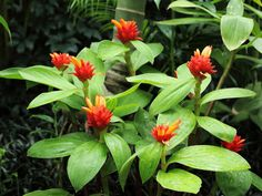 Costus curvibracteatus (Orange Tulip Ginger) is an evergreen perennial up to 10 feet (3 m) tall. The leaves are dark green, obovate to...