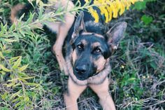 My dog Kai, a German Shepherd, has come across multiple allergies to her food. She's a working Service Dog (still in training) but has racked up some medical bills and is on a special diet of raw meats and organs as she doesn't seem to be able to handle any brand of kibble. I had hoped to be abl...