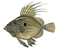 John Dory fish, grows up to 28 inches long