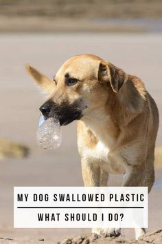 My Dog Swallowed Plastic, What Should I Do? - Dog health guide