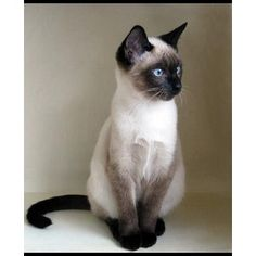 Some Top Unusual Cat Breeds on Earth - Siamese Cat - Ideas of Siamese Cat - No one cares abouts yer stick figure famblee. The post Some Top Unusual Cat Breeds on Earth appeared first on Cat Gig. Pretty Cats, Beautiful Cats, Animals Beautiful, Cute Animals, Pretty Kitty, Animals Images, Siamese Kittens, Kittens Cutest, Tabby Cats