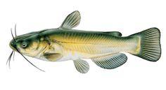 AGFC | Black Bullhead Catfish