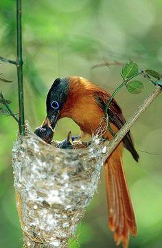 Madagascar Paradise Flycatcher (Terpsiphone mutata) Female Feeding Chicks