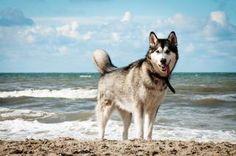 Siberian husky dog on beach Free Stock Photo