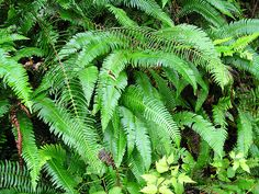 polystichum-munitum-sword-fern - dog pee proof!