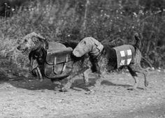 Two Airedale terriers at a canine training camp in England. One dog wears a special gas mask and the other carries rations for a wounded soldier.16th October 1939