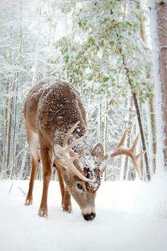 Young Buck in fresh snow... eu gostava de alimentar esses bichinhos que vinham ate minha porta em Troy....