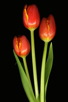 Scanography Photograph - Tulip Trio Revisted by Deborah J Humphries