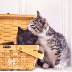 """From @_drdesigns: """"This is Minnie and Pearl. Minnie, the one in the basket, was the smallest in the litter. Big sister Pearl takes good care of her."""" #catsofinstagram #twitterweek [catsofinstagram.com]"""