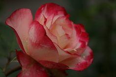Photograph: Good as Gold Rose Minnesota Landscape Arboretum Rose Garden Photograph taken: 06/19/2014