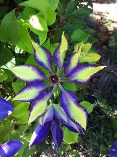 A new variety of clematis appeared on fall vine, striking colors blue and yellow