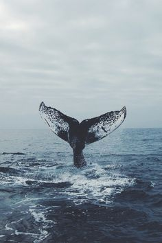 A whale of a tail. - - alice jessia A whale of a tail. - A whale of a tail Beautiful Creatures, Animals Beautiful, Animals And Pets, Cute Animals, Wale, Tier Fotos, Ocean Life, The Ocean, Black Ocean