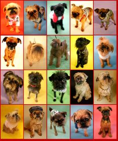 Brussels Griffon-this is stimulation overload