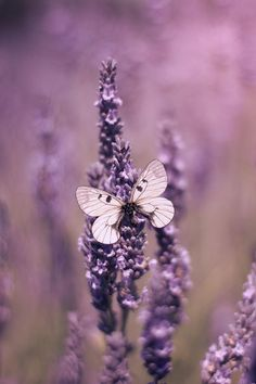 Butterfly On Lavender Canvas Print / Canvas Art by Ethiriel Photography