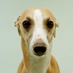 "Whippet dog. Greyhound like. Cute...  I want one!!...might have to break Brandon's "" no more dogs"" rule.  :)"