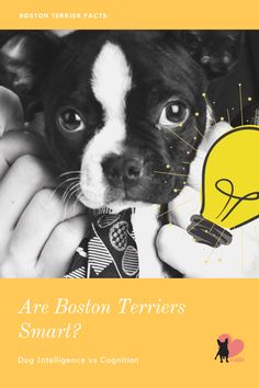 Boston Terriers are known for their friendliness and entertaining personality. But how intelligent are they? Let's find out! #bostonterrier #bostonterrierbehaviour #bostonterrierpersonality #bostonterriertemperament #bostonterriersmart #bostonterrierlove #bostonterrierintelligent #bostonterrierowner #owningabostonterrier #dogbehaviour #doglove #dogbond #dogbonding #dogmom #dogowner #dogintelligence