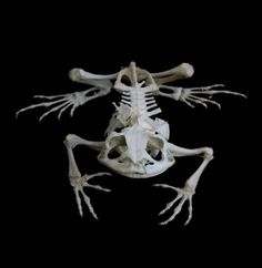 Articulated Toad Skeleton