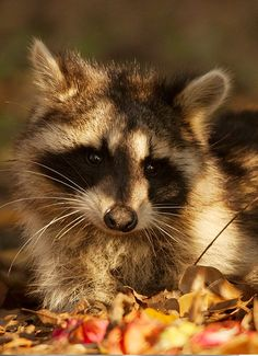 I'm gonna get a pet raccoon and I'm gonna name it Ooshi!!