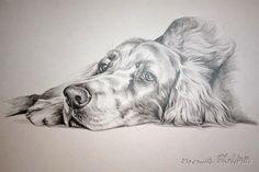 Irish setter, pencil drawing