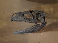 Crâne de Tanycolagreus topwilsoni.