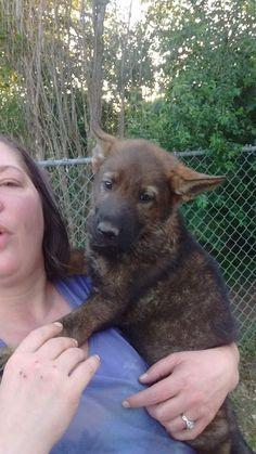 70 Best German Shepherd Puppies Images Diecast Hot Wheels Akc