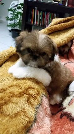 5 Tips On Taking Care Of Shih Tzu Puppies