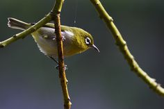 Green-backed White-eye  (Zosterops Xanthochrous) - Native to the rainforests of New Caledonia. Photo by Stephan Roletto, via Flickr.