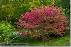 Winged Spindle or Burning Bush (Euonymus alatus) – Ideal for small gardens