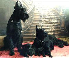 Schnauzer Grooming, Schnauzer Art, Giant Schnauzer, Best Dog Breeds, Best Dogs, Schnauzer Gigante, Schnauzers, Dressage, Expensive Dogs