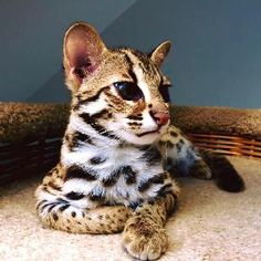 Classified: Available Savannah And Serval, Caracal And Ocelot Kittens Savannah Kittens For Sale, Pets For Sale, Savannah Chat, Caracal Cat, Serval, Animals Beautiful, Cute Animals, Cat Store, Unique Cats