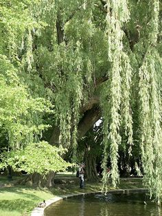 Weeping willow trees in the Boston Public Garden. So pretty! Weeping willow trees in the Boston Publ