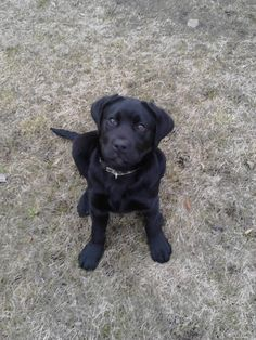 čierny labrador - Hľadať Googlom