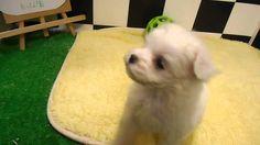 ペットエコ長町店に7/30に入荷しました! ♪元気いっぱい!!遊んでもらうの大好きです♡ 詳細はこちら!http://www.yoneyama-pt.co.jp/peteco/sendai/