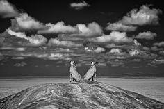 Charlie Hamilton James, bw cheetah reflection 岩の上に座る2頭は、ライオンの群れを見つめている。この写真を撮影したのは真昼。この時間帯は頭上から光が当たるため、一般的には撮影には向いていない時間帯だが、赤外線で撮影することで平板になりがちな構図がドラマチックな光景に一変した