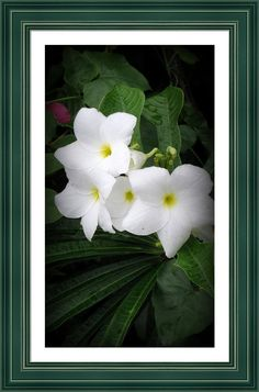 "White Plumerias framed print by Kay Novy.   Bring your print to life with hundreds of different frame and mat combinations. Our framed prints are assembled, packaged, and shipped by our expert framing staff and delivered ""ready to hang"" with pre-attached hanging wire, mounting hooks, and nails. SHIPS WITHIN 2 - 3 business days."