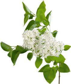 View album on Yandex. Gifs, Magnolia, Landscape Sketch, Special Flowers, Flowers Nature, Polyvore, Beautiful, Design, Desserts