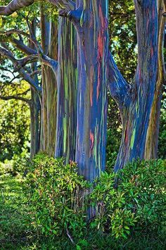 Beautiful Rainbow Eucalyptus Trees - This form of eucalyptus tree grows in Maui (Hawaii) rainforests where the bark peels back to reveal a gorgeous range of colors. Beautiful World, Beautiful Places, Beautiful Pictures, Rainbow Eucalyptus Tree, Unique Trees, Tree Forest, Natural Wonders, Amazing Nature, Mother Earth