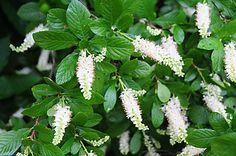 summer sweet bush information | ... shrub have a sweet spicy fragrance sweet pepper bush clethra alnifolia