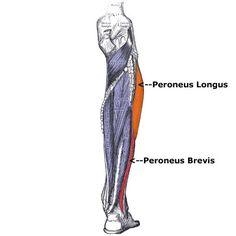 The origin of peroneus longus is | Anatomy | Pinterest ...