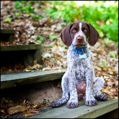 somday when I have time to train one right I will have my own little GSP puppy