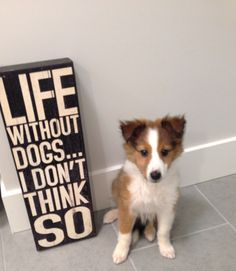 Life without Dogs ... I don't think so! Sheltie pup
