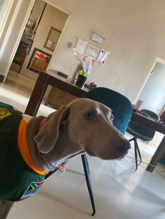 Springbok Fan Elsa I am a proud Springbok fan and South Africa became World Champion we are the best Rugby Team. New Sibling, Weimaraner, Rugby, Pretty Girls, Elsa, Africa, Puppies, Fan, Dogs