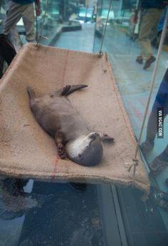 Otter having a hammock nap