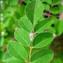 ¿Para qué es buena la moringa? 15 usos medicinales comprobados de la moringa ecoagricultor.com