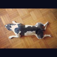 Keeping cool. #pitbull #amstaff by QwaktastiK on Flickr.