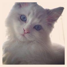 Hello!  (Ragdoll Kitten) #ragdoll #cat