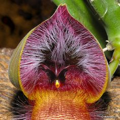 Stapelia hirsuta - Flower bud in the process of opening up; by Martin_Heigan